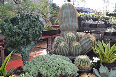 gambar kaktus langka
