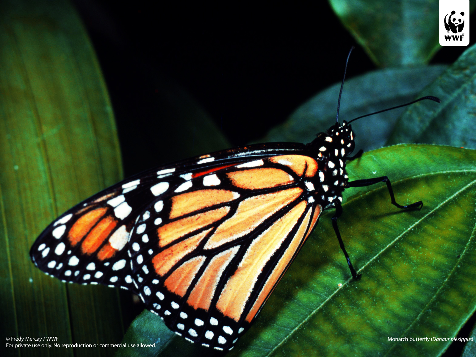 Free 3D Wallpapers Download: Monarch butterfly wallpaper - photo#28