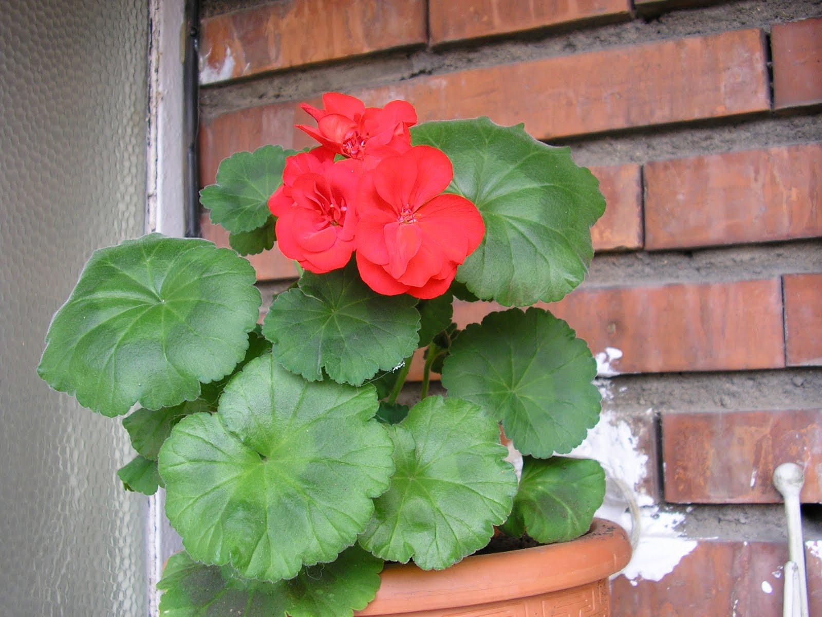 plantas: GERANEO ZONAL...