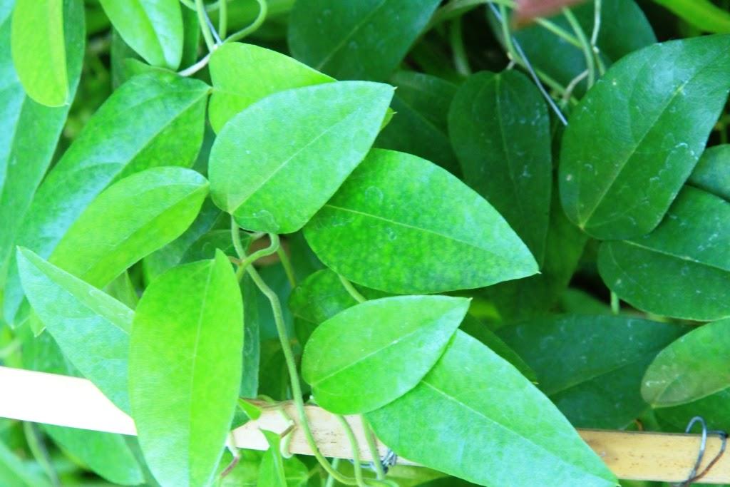 Single baru hijau daun