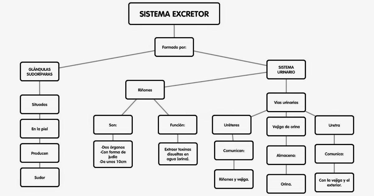 Encantador Diagrama De Sistema Excretor Ilustración - Anatomía de ...