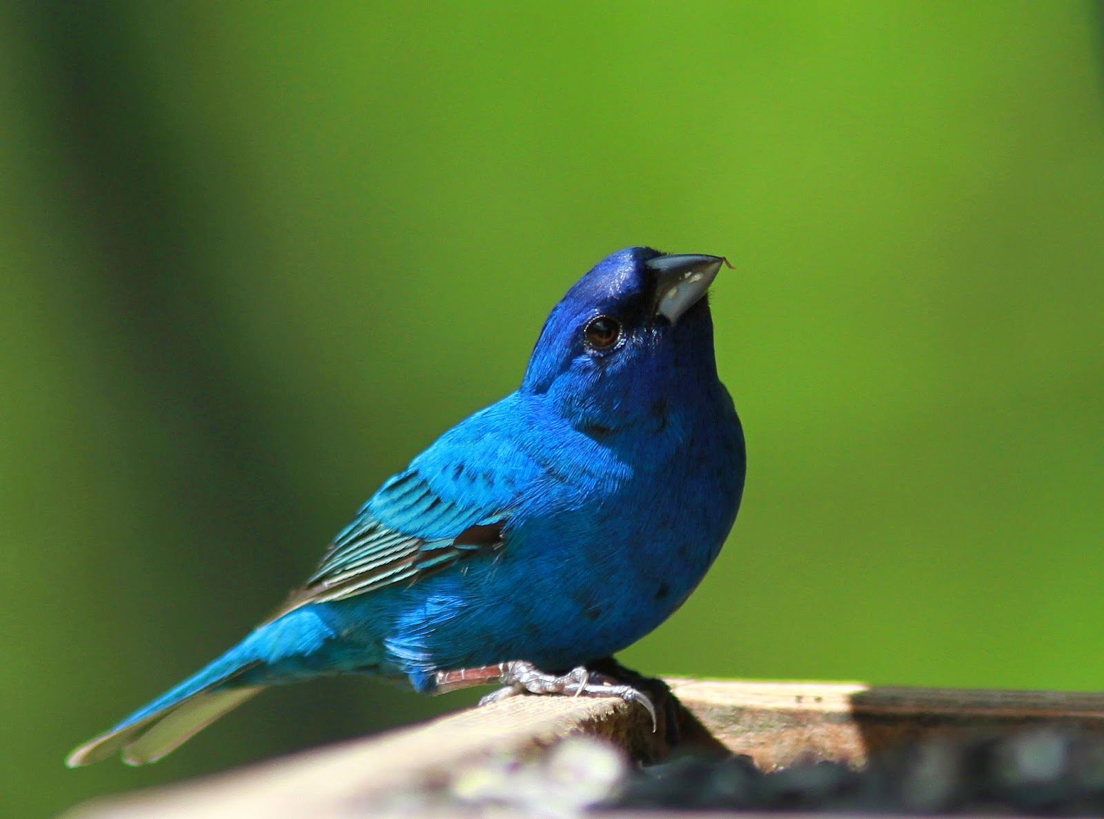 World Beautiful Birds Indigo Bunting Birds Interesting