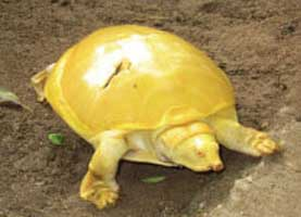 Rare Yellow Tortoise gossip9.lk photo