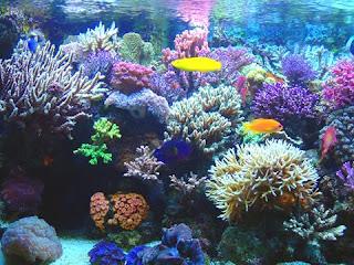 Caribe: los arrecifes de coral han dejado de crecer  Corales+caribe