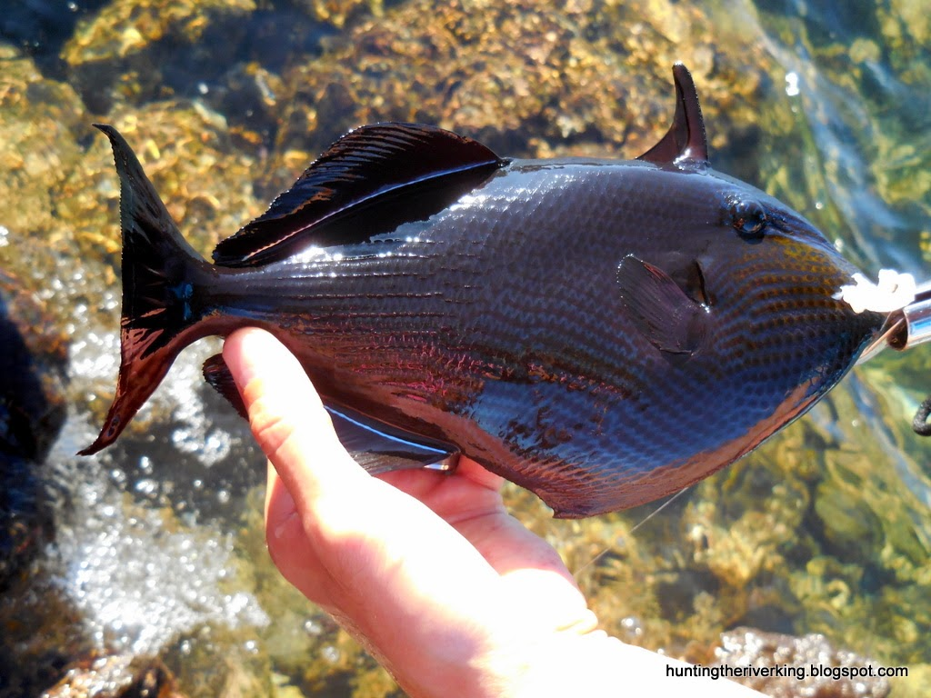 Surf fishing hawaii big island hunting the river king for Fishing big island hawaii
