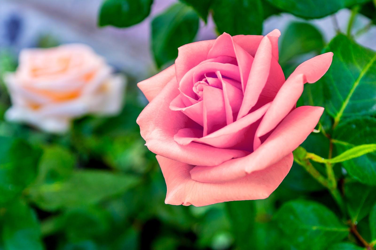 Kopi Hangat: Foto Bunga Mawar yang Cantik