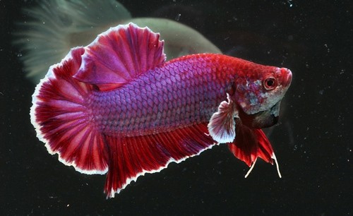 Kiwiii blogger i want a betta fish the short tail betta plakat betta sometime people will misunderstood is a female betta sciox Image collections