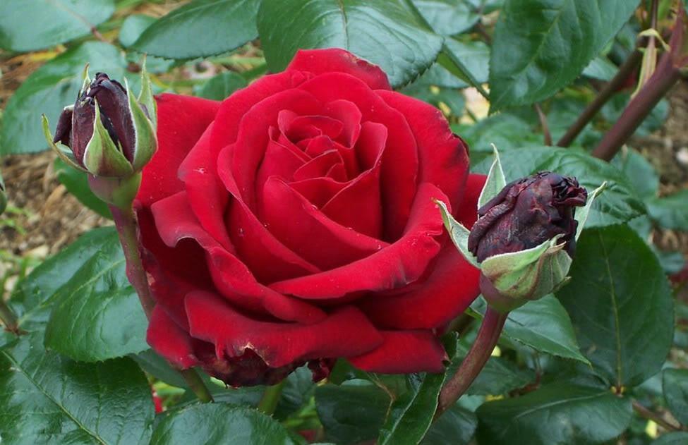 bunga mawar merah jpg ...
