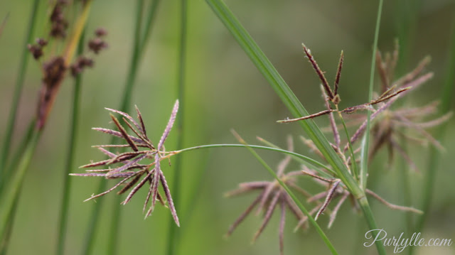 grasses in seed