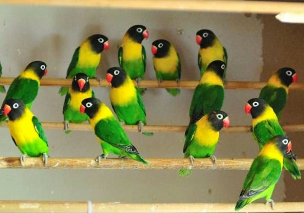 Lovebird Kacamata Dakocan