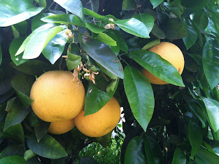 Grapefruit tree by Maja Trochimczyk