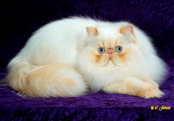 Photo chat persan avec beau yeux