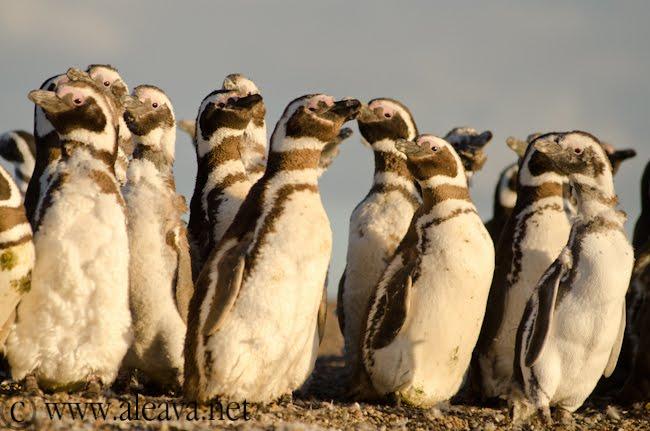Magallanic Penguin in Peninsula Valdes Patagonia Argentina