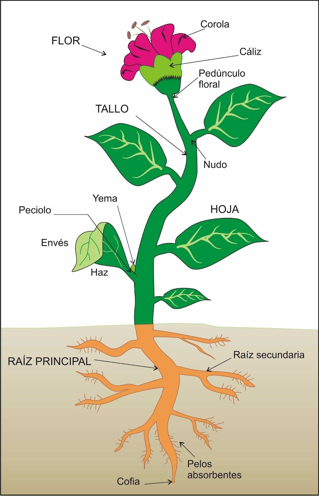 Naturaleza Viva: ESQUEMAS DE TIPOS DE PLANTAS Y PARTES DE UNA PLANTA