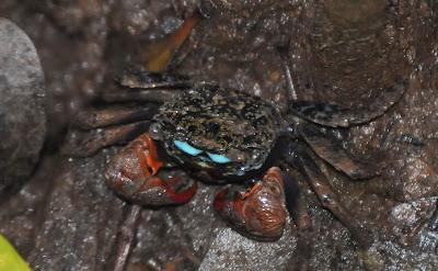 Face-banded Sesarmine (Perisesarma indiarum)