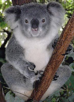 معلومات جديدة عن حيوان الكوالا Cute-koala-bear