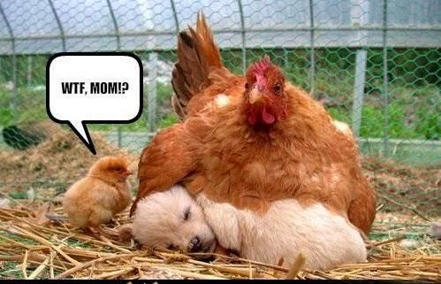 ayam bertelur