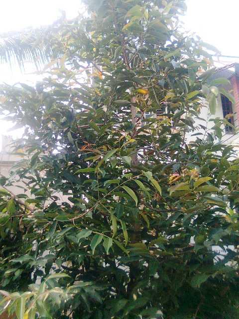 Kala Jamun Fruit