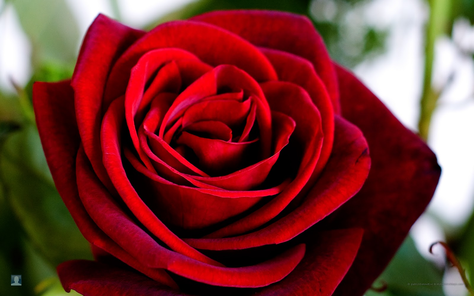 17 beautiful red rose - photo #32