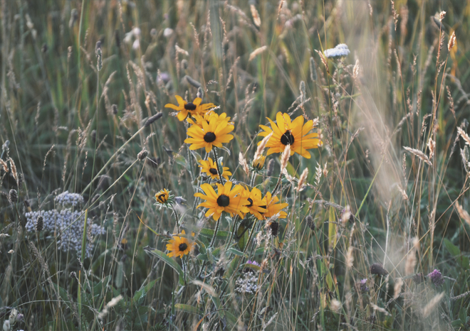 The Flying Clubhouse: Sunset Picnic - black-eyed susans