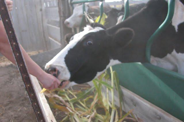 Hand feeding cow