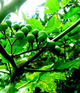 khasiat manfaat buah takokak terung pipit