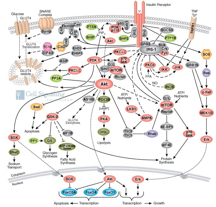 insulin function,type 1 diabetes,diabetes,insulin structure function,dietary influence on the insulin function,insulin physiology,insulin function in the body,actions of insulin,insulin hormone function,