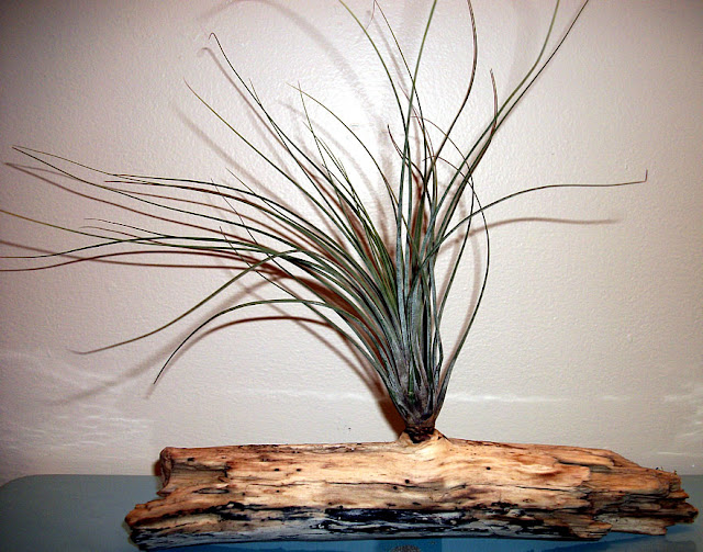Juncea Tillandsia Air Plant