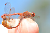 Autumn Meadowhawks