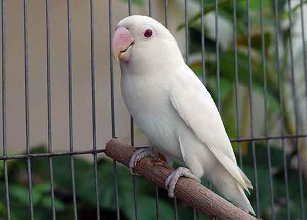 Lovebird Albino Putih - Aneka Jenis Burung Lovebird