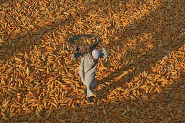 A boy carries a basket of corn as he walks over corn kept for drying, outside a mosque, at Mathwar village, 36 km (22 miles) northwest of Jammu, India, Nov. 8, 2012.  (Credit: Reuters/Mukesh Gupta) Click to enlarge.