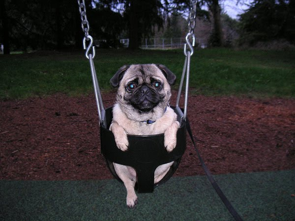 Funny And Cute Swinging Dogs