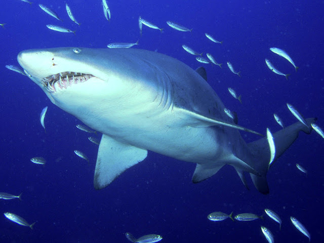 http://1.bp.blogspot.com/-nuL8vstg2vI/T7FkwRbCSOI/AAAAAAAAAps/CcRJiKRMaVc/s1600/Predator,+Sand+Tiger+Shark+pictures+underwater+photos.jpg