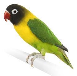 jendela hewan jenis jenis burung lovebird dan ciri cirinya