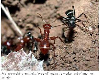 Perbudakan Semut