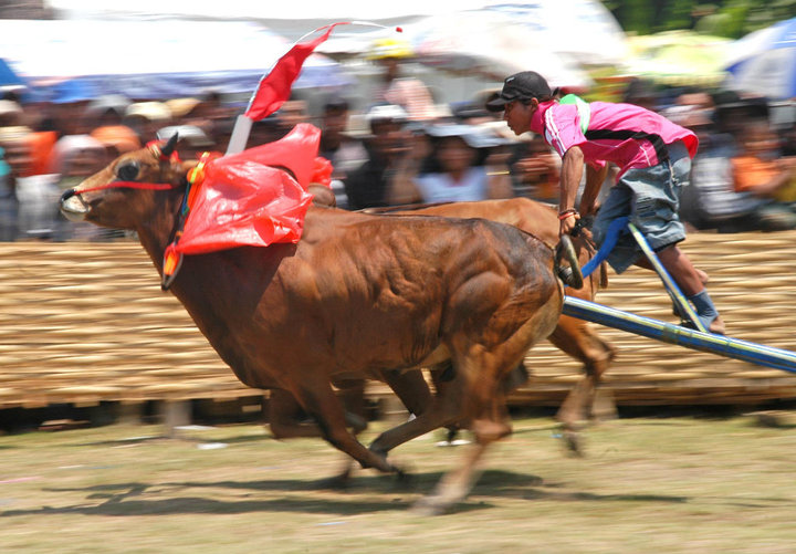 Come to Madura Island and Watch Our BullRace Event!
