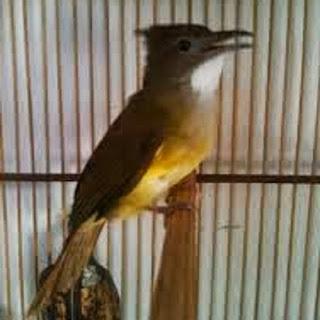 Burung Cucak Jenggot : Tips Perawatan Burung Cucak Jenggot Harian Dan Agar Cepat Gacor