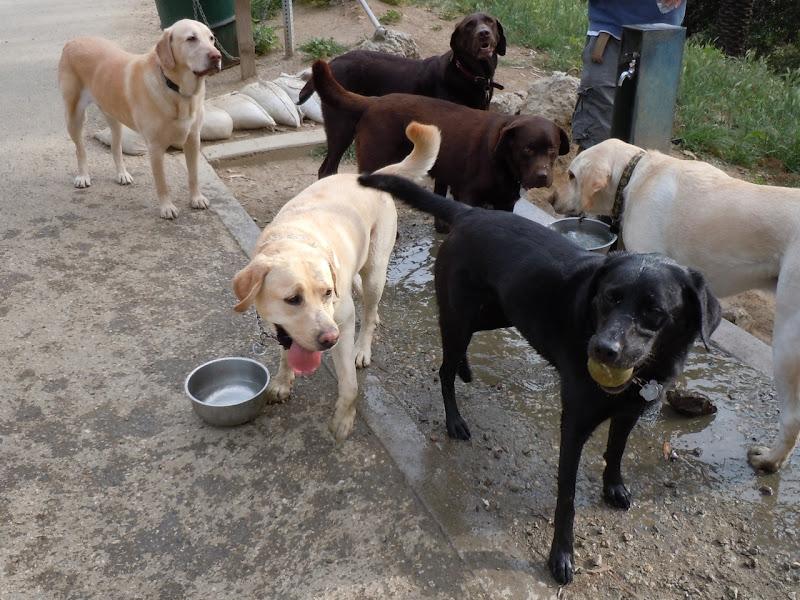 Cooper's Labrador pals