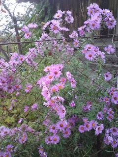 сентябринки цветут