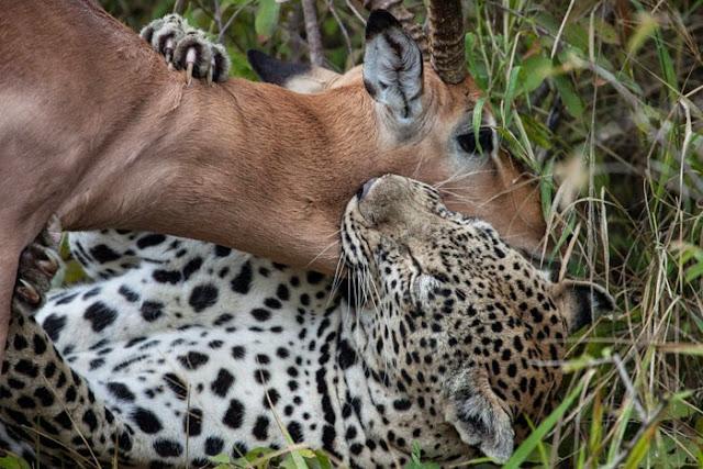 الفهد يطبق على حنجرة الظبي