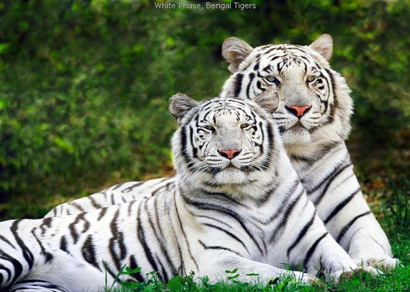 SEE MORE WHITE TIGERS