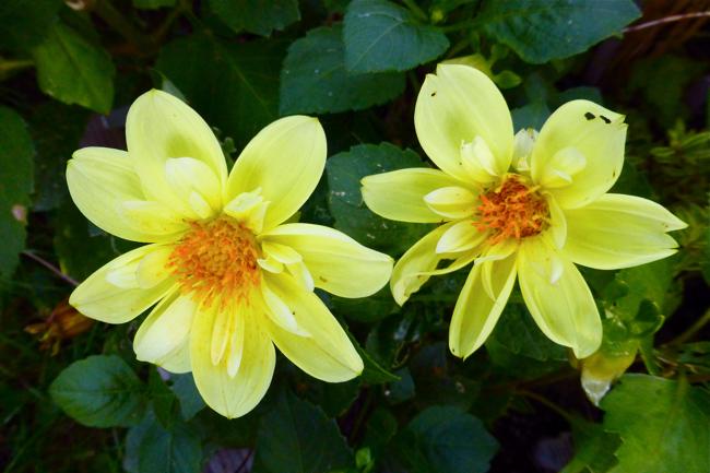 dahlia, Collerette, Collerette dahlia, yellow dahlia, garden