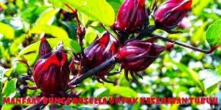 Manfaat Bunga Rosella Untuk Kesehatan Tubuh