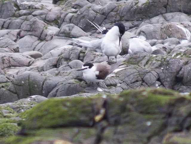 Bridled Tern - Farne Islands, Northumberland