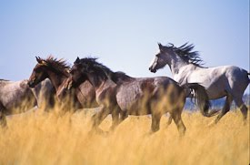 Band of Wild Horses