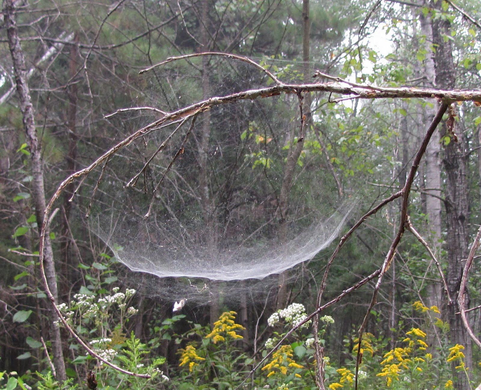Bug Eric: Spider Sunday: Bowl & Doily Spider Bowl And Doily Weaver Spider