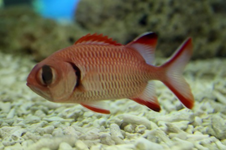Blacktipped soldierfish