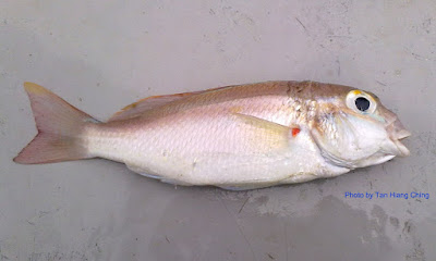 Latice Monocle Bream