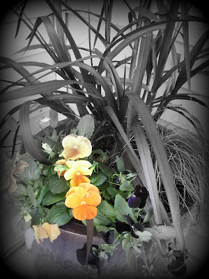 Black and orange pansies