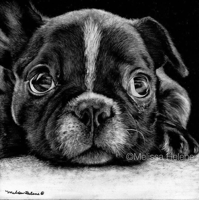 21-French-Bulldog-Puppy-Melissa-Helene-Amazing-Expressions-in-Scratchboard-Animal-Portraits-www-designstack-co